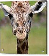 Giraffe Peek A Boo Poster Acrylic Print