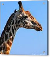 Giraffe Portrait Close-up. Safari In Serengeti. Tanzania Acrylic Print
