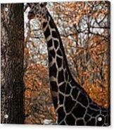 Giraffe Posing Acrylic Print