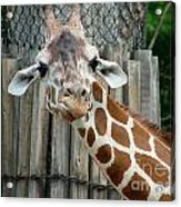 Giraffe-really-09025 Acrylic Print