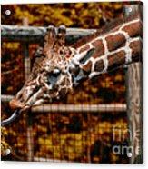 Giraffe Showing His 20 Inch Tongue Acrylic Print