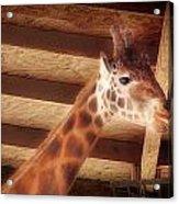 Giraffe Smarty Acrylic Print