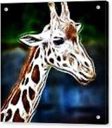 Giraffe Zoo Art Acrylic Print