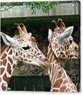 Giraffes-09023 Acrylic Print