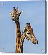 Giraffes 1 Acrylic Print