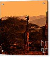 Giraffes At Sundown Acrylic Print