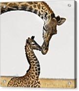 Giraffe's First Kiss Acrylic Print
