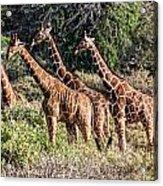 Giraffes Galore Acrylic Print