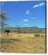 Giraffes In Samburu National Reserve Acrylic Print