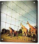 Giraffes Leave Acrylic Print