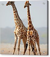 Giraffes Standing Together Acrylic Print by Johan Swanepoel