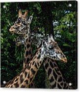 Giraffs Acrylic Print
