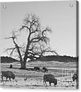 Give Me A Home Where The Buffalo Roam Bw Acrylic Print