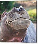 Give Me A Kiss Hippo Acrylic Print