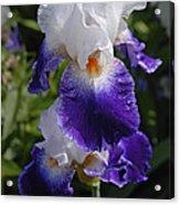 Giverny Iris Acrylic Print