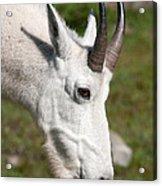 Glacier Goat Acrylic Print