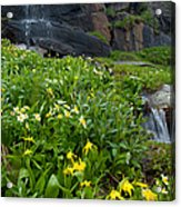 Glacier Lilies And Globeflower Beside A Mountain Stream Acrylic Print