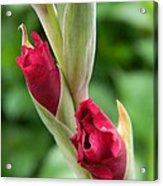 Gladiola Buds Acrylic Print