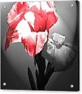 Gladiola With Heart Acrylic Print