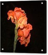 Gladiolus At Night Acrylic Print