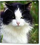Glaring Cat Acrylic Print