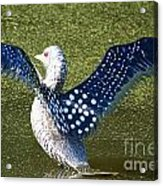 Glass Loon Acrylic Print