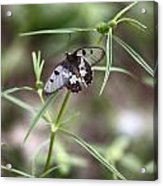 Glass-wing Butterfly Acrylic Print