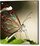Glassed Wing Tropical Butterfly Acrylic Print