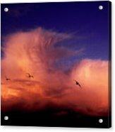 Glaucous-winged Gulls Larus Glaucescens Acrylic Print