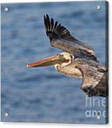 gliding by Pelican Acrylic Print
