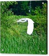 Gliding Egret Acrylic Print