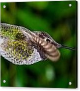 Gliding Hummingbird Acrylic Print