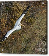 Gliding Pelican Acrylic Print