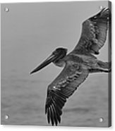 Gliding Pelican In Black And White Acrylic Print