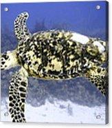 Gliding Sea Turtle Acrylic Print