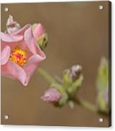 Globe Mallow Acrylic Print by Old Pueblo Photography