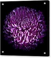 Glorious Autumn Purple Chrysanthemum Acrylic Print