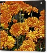 Glorious Golden Mums Acrylic Print