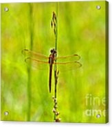 Glorious Golden-winged Acrylic Print