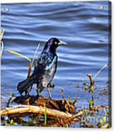 Glorious Grackle Acrylic Print