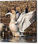 Glorious Snow Goose Acrylic Print