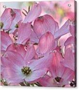 Glorious Spring Dogwood Acrylic Print