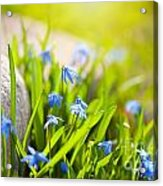 Scilla Siberica Flowerets Named Wood Squill  Acrylic Print