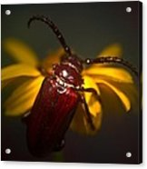Glowing Beetle Acrylic Print