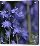 Glowing Blue Bells Acrylic Print by Aqil Jannaty