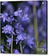 Glowing Blue Bells Acrylic Print