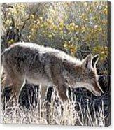 Glowing Coyote  Acrylic Print
