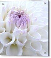 Glowing Dahlia Flower Acrylic Print