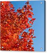 Glowing Fall Maple Colors 1 Acrylic Print