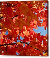 Glowing Fall Maple Colors 3 Acrylic Print